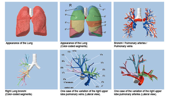 Learn In 3d Cgsegmental Anatomy Of The Lung